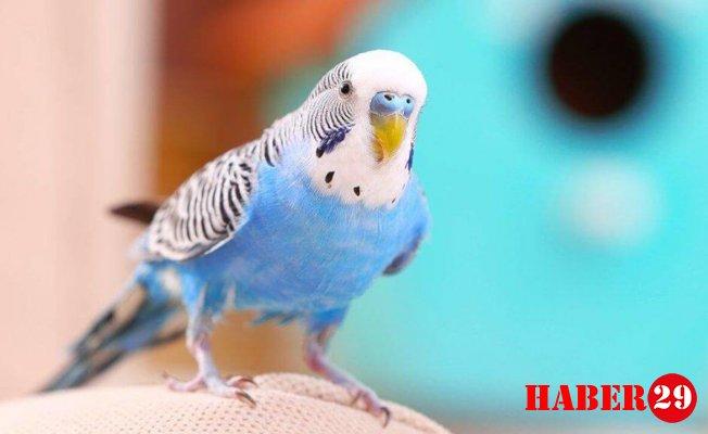 Muhabbet kuşu kaç yıl yaşar?